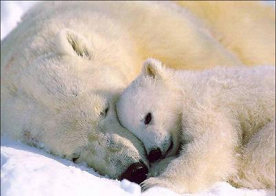 orso_bianco+cucciolo